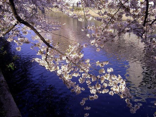 大岡川の桜1