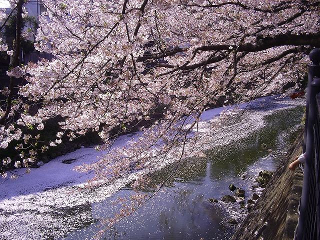 大岡川の桜5