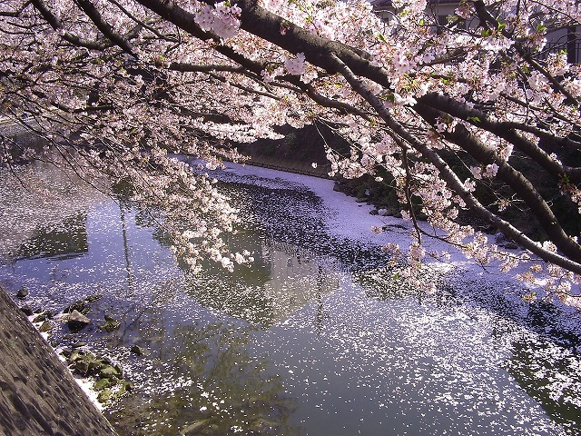 大岡川の桜12