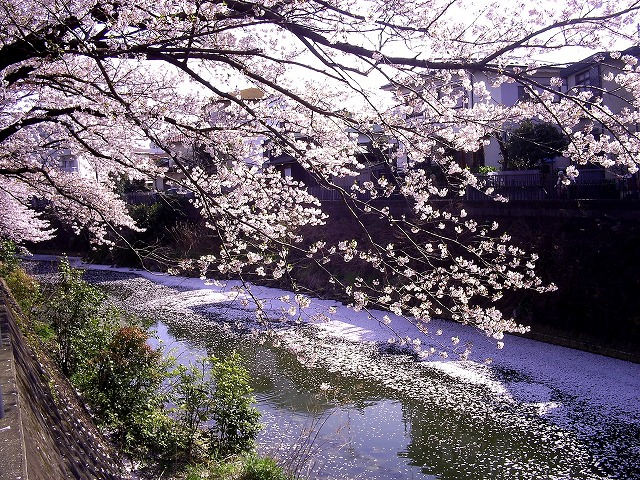 大岡川の桜11