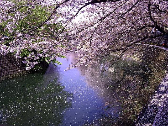 大岡川の桜10