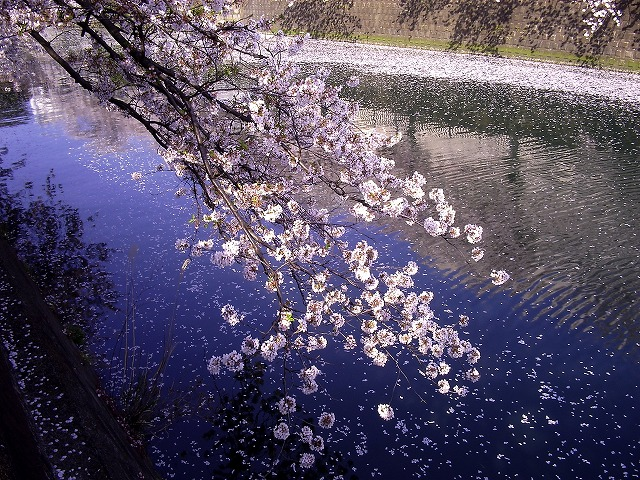 大岡川の桜2